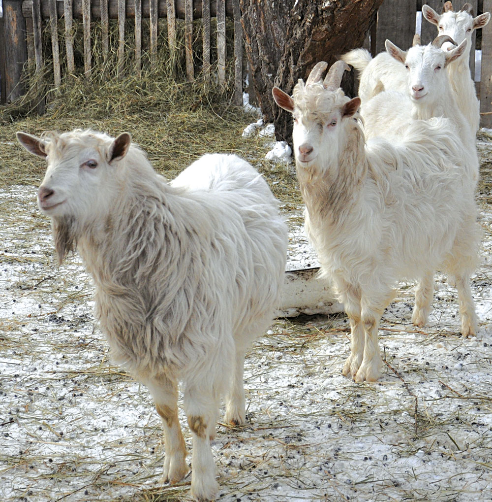 kozie-moloko