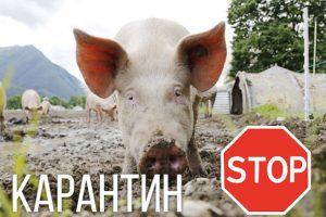 Африканская чума свиней — это опасно