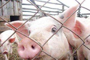 Правильное содержание свиней — основа биологической безопасности