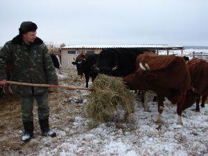 Коровы с характером, зато доятся хорошо