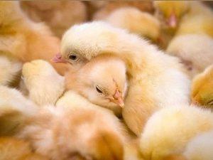 Цыплята — пострадавшим от АЧС